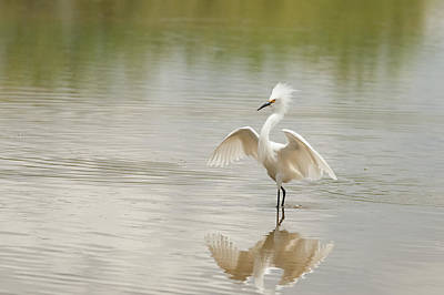 Photograph - $150 - 12x18 Metal - Snowy Egret Strutting by Tam Ryan