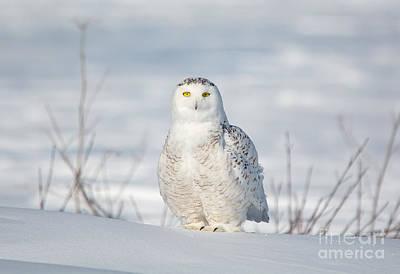 Photograph - Snowy Owl by Cheryl Baxter
