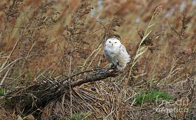 Photograph - Snowy Owl by Debbie Parker