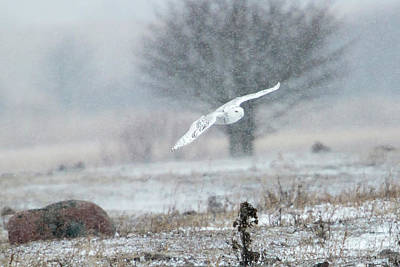 Photograph - Snowy Owl In Flight by Gary Hall