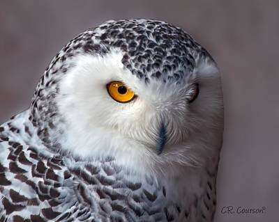 Photograph - Snowy Owl Portrait by CR  Courson