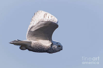 Photograph - Snowy Owl by Ronald Grogan
