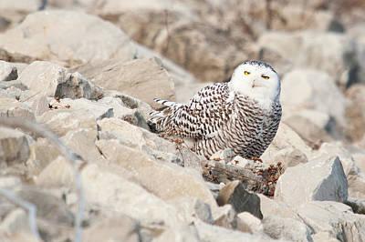 Photograph - Snowy Owl by Steve Stuller