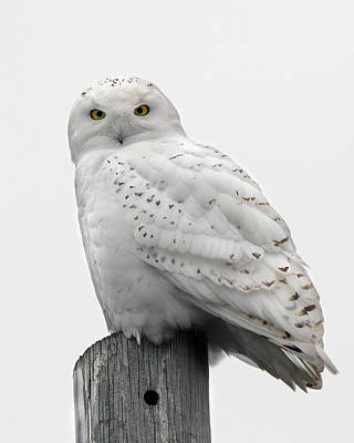 Photograph - Snowy Owl by Timothy McIntyre