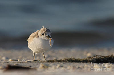 Photograph - Snowy Plover by Meg Rousher