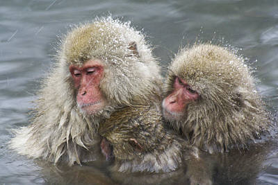 Photograph - Snuggling Snow Monkeys by Michele Burgess