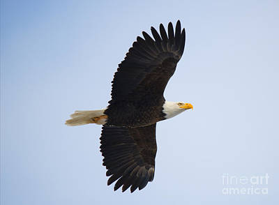 Birds Rights Managed Images - Soar Royalty-Free Image by Mike Dawson