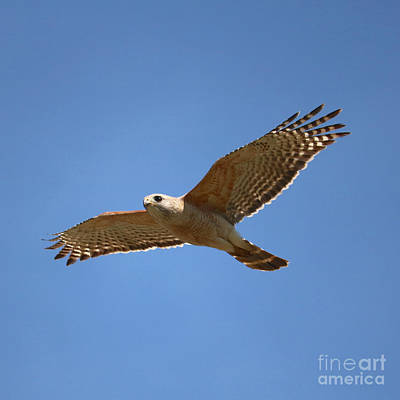 Photograph - Soaring Hawk  by Carol Groenen