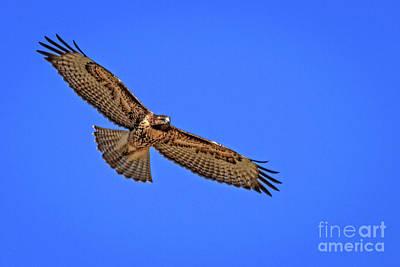 Photograph - Soaring Red Tail Hawk by Robert Bales