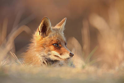 Meditating Photograph - Softfox by Roeselien Raimond