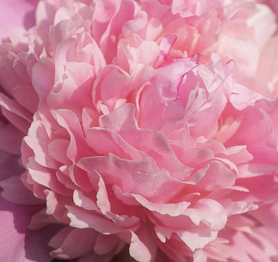 Softly Pink Art Print