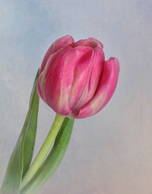 Photograph - Solitary Tulip by David and Carol Kelly