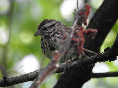 Photograph - Song Sparrow  by Betty-Anne McDonald