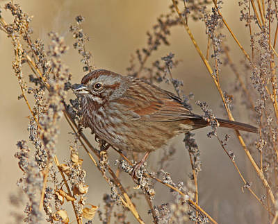 Rust Wall Art - Photograph - Song Sparrow by Gary Wing