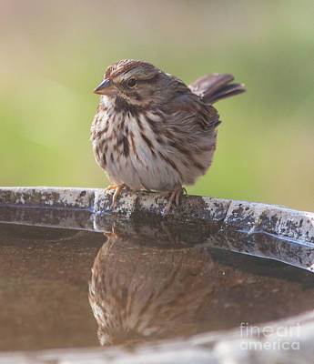 Photograph - Song Sparrow by Kevin McCarthy