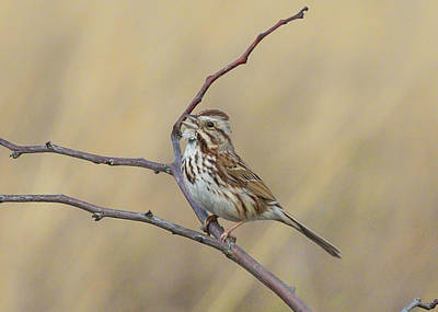 Photograph - Song Sparrow by Ron Grafe