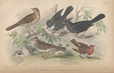 Blackbird Drawing - Songbirds by Dreyer Wildlife Print Collections
