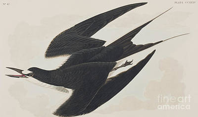 Swooping Drawing - Sooty Tern by John James Audubon