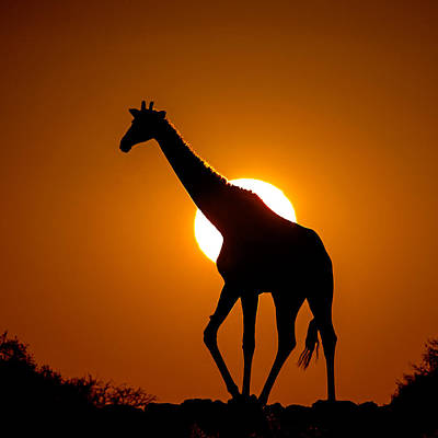 Southern Giraffe Giraffa Camelopardalis Art Print by Panoramic Images