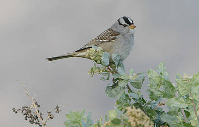 Photograph - Sparrow Song by Fraida Gutovich