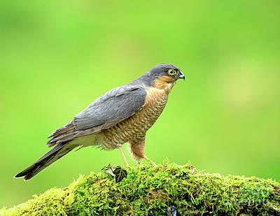 Photograph - Sparrowhawk by Paul Scoullar