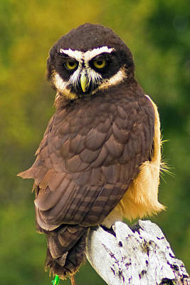 Photograph - Spectacled Owl by Bill Barber
