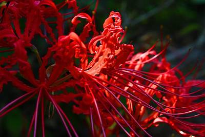 Photograph - Spider Lilies by Kathryn Meyer