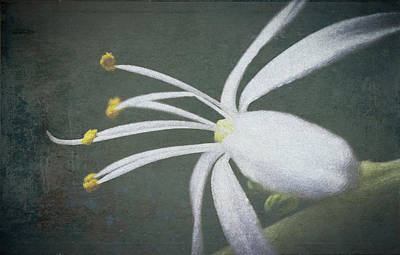 Photograph - Spider Plant Flower II by Christopher Meade