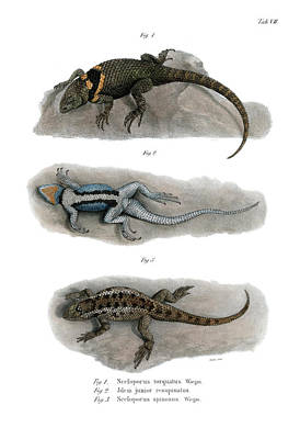 Drawing - Spiny Lizards, Sceloporus by Carl Wilhelm Pohlke