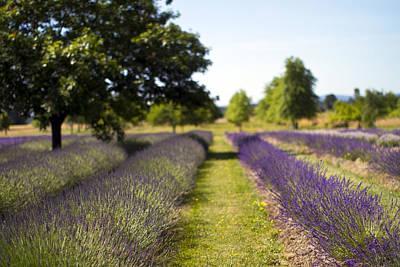 Lavender Fields Photograph - Splash by Rebecca Cozart