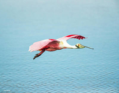Photograph - Spoonbill In Flight by Fran Gallogly