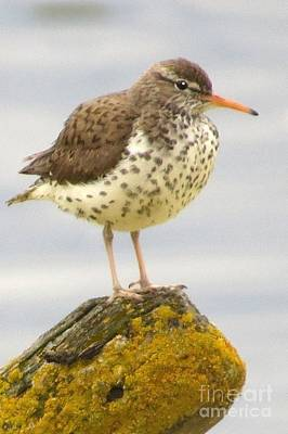 Photograph - Spotted Sandpiper by Frank Townsley