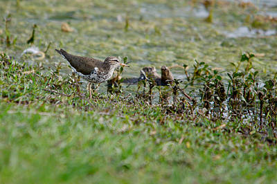 Black Top Digital Art - Spotted Sandpiper Hunting For Food by Roy Williams