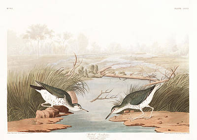 Sandpiper Wall Art - Painting - Spotted Sandpiper by John James Audubon