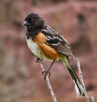Photograph - Spotted Towhee by Steven Parker