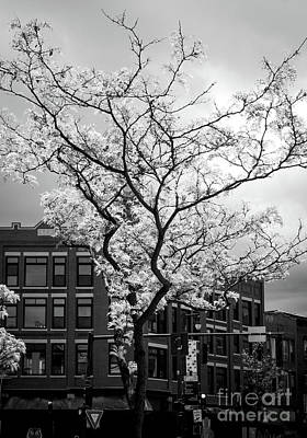 Photograph - Spring Bossoms, Portland, Maine  -65729-bw by John Bald