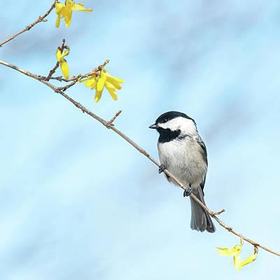 Photograph - Spring Chickadee by Lara Ellis