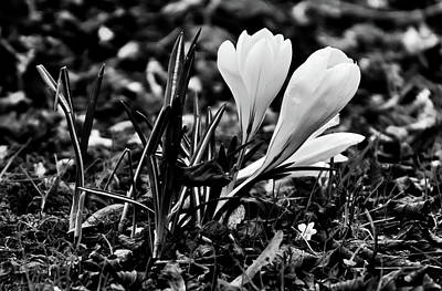 Photograph - Spring Crocus by Alexas Fotos