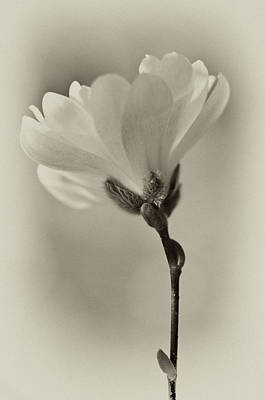 Photograph - Spring Flower Buds by Wilma  Birdwell