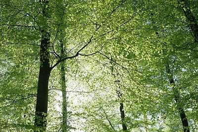 Photograph - Spring Foliage Beech Trees by Martin Stankewitz