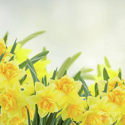 Photograph - Spring Narcissus Garden by Anastasy Yarmolovich