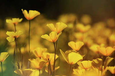 Photograph - Spring Poppies  by Saija Lehtonen