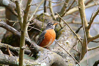 Photograph - Spring Robin by Living Color Photography Lorraine Lynch