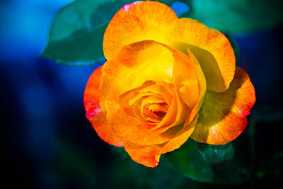 Photograph - Spring Rose by Barry Jones