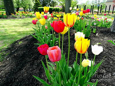 Photograph - Spring Tulips #1 by Ed Weidman