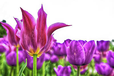 Photograph - Spring Tulips by Jodi Jacobson