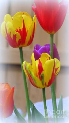 Photograph - Spring Tulips by Kay Novy