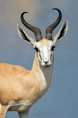 One Horn Photograph - Springbok Antidorcas Marsupialis by Panoramic Images