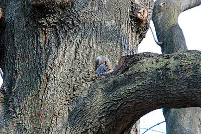 Photograph - Squirrel In A Tree by Cora Wandel