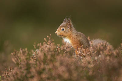 Photograph - Squirrel in the Heather by Calum Dickson